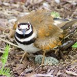 Sorin Alb / Killdeer Protecting Nesting Eggs / HM / Digital Intermediate Nature