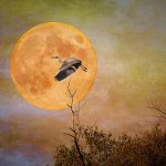 Hillarie McNeil-Smith - Moonlight Flight - 1st - Digital Advanced Creative