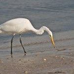 Bruce Peters / Egret Collecting Nest Material / HM / Digital Intermediate Nature
