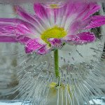 Paul Ewington - Magenta Flower In Ice - 1st - Digital Beginner Pictorial