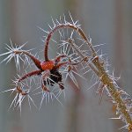 Paul Ewington / Frost Spikes On Rosehip / HM / Digital Beginner Nature