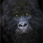 Ina Miglin - Mountain Gorilla In Virunga Mountains - 3rd - Digital Intermediate Pictorial