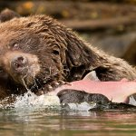 Garry Revesz - Grizzly_Fishing - 1st - Digital Beginner Nature