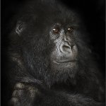 Ina Miglin - Mountain Gorilla In Virunga Forest - 1st - Digital Intermediate Pictorial