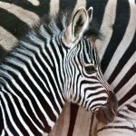 Hilarie McNeil-Smith - YOUNG ZEBRA - 1st - Print Level 2 Artistic