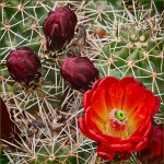 Tony Paine - Claret Cup Cactus Flower - 2nd - Digital Intermediate Nature