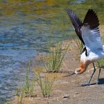 Sandra Hawkins - American Avocet - HM - Digital Advanced Nature