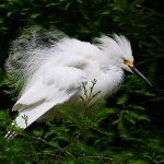 Ron Manning / Snowy Egret Fluffing / HM / Digital Advanced Nature