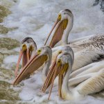 Sandra Hawkins - Pod of Pelicans - 3rd - Advanced Nature