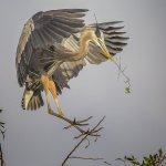 Ron Manning - Great Blue Heron Landing - 2nd - Advanced Nature