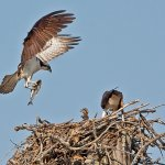 Robert Bateman - Osprey Family - HM - Digital Advanced Nature