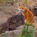 Sandra Hawkins - Red Fox Kit at Den, Yukon - 2nd - Level 2 Pictorial
