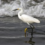 Linda Wiesner - Snowy Egret - 3rd - Digital Intermediate Nature