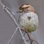 Sandra Hawkins - White-Crowned Sparrow Female - HM - Digital Advanced Nature