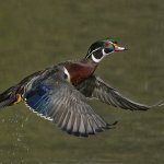 Joe Iocco - Wood Duck Drake Take Off - 2nd - Digital Advanced Nature