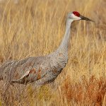 Tony Paine - Sand Hill Crane - 2nd - Digital Intermediate Nature