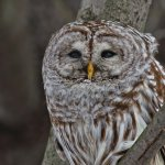 Stephen Balke - Barred Owl - 1st - Digital Beginner Pictorial