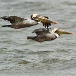 Raymond Hsu - Brown Pelican In Flight - 3rd - Digital Advanced Nature