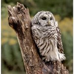 Al Tilson / Barred Owl on Stump / 3rd / Print Level 2 Pictorial