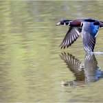 Raymond Hsu - Wood Duck In Flight - HM - Digital Advanced Nature