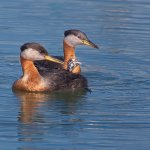 Ron Manning / Red Necked Grebes / 2nd / Digital Advanced Nature