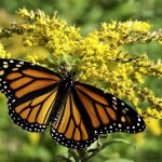 Marcus Miller - Monarch on Goldenrod - 3rd Level 2 Pictorial