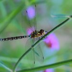 Larry Jewett - Dragonfly - HM - Digital Beginner Nature