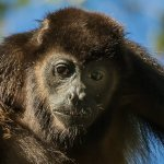 Garry Revesz - Male Howler Monkey - HM - Digital Beginner Nature