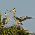 Carol Bohnert - Heron Presenting Nesting Material - HM - Digital Advanced Nature