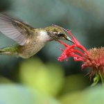 Vincent Filteau - Humingbird Feeding On Monarda - 2nd - Beginner Nature