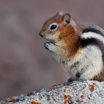 Bob Hawkins - Golden-Mantled Ground Squirrel - HM - Digital Advanced Nature