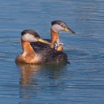 Ron Manning / Red-Necked Grebes / 3rd / Digital Advanced Nature