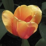 Kay Woollam - Niagara Tulip - HM - Digital Advanced Pictorial