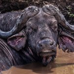 Sandra Hawkins - Cape Buffalo, Hluhluwe, South Africa - 1st - Advanced Nature