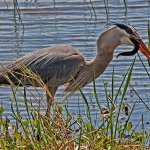 Bruce Peters - Heron Swallowing Large Snake - 3rd - Digital Intermediate Nature