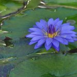 Paul Ewington - Blue Water Lily - 3rd - Digital Beginner Pictorial