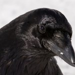 Garry Revesz - Common_Raven - HM - Digital Beginner Nature