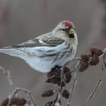 Vincent Filteau - Common Redpoll Eating Seeds - 3rd - Digital Beginner The Colour Red