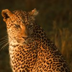 Ina Miglin - Leopard - 3rd - Digital Intermediate Nature