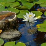 Paul Ewington - Water_Lily - 2nd - Digital Intermediate Pictorial
