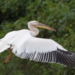 Garry Revesz - Great White Pelican - 1st - Digital Beginner Nature