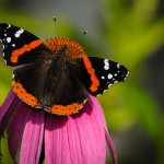 Jon Clarke - Butterfly On Cone Flower - 3rd - Prints Level 1 Pictorial\