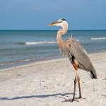 Rick DaSilva - Great Blue Heron - 3rd - Digital Beginner Nature