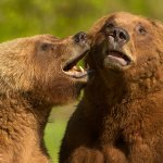 Garry Revesz - Grizzly_Love_Nip - 1st - Digital Beginner Nature