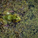 Stephen Hill - Green Frog 2 - 1st - Intermediate Nature