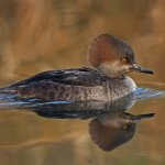 Carol Bohnert - Female Hooded Merganser - HM - Digital Advanced Nature