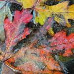 Paul Ewington - Frozen Leaves - 2nd - Intermediate Nature