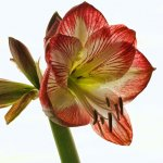 Wendy Baillie - Amaryllis - HM - Level 1 Pictorial