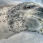 David Simmonds / Leopard Seal / 2ND / Digital Advanced Nature