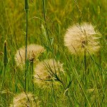 Jennifer Fowler - Dandelion Seed Heads In The Grass - 2nd - Digital Intermediate Nature